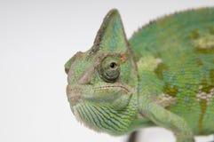 Chameleon face extreme closeup Stock Photos