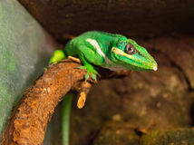 Chameleon is facing a tree branch Royalty Free Stock Photos
