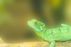 Chameleon is facing a tree branch.  Stock Photography