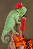 Chameleon firefighter. A veiled chameleon is wearing a firehat and holding a fire extinguisher while looking down at a fire Royalty Free Stock Photography