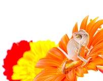 Chameleon on flower Royalty Free Stock Photo
