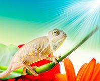 Chameleon on flower Royalty Free Stock Images