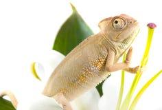 Chameleon on flower. Stock Photography