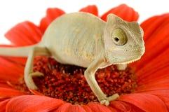 Chameleon on flower. Stock Photo