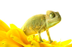 Chameleon on flower. Royalty Free Stock Image