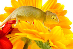 Chameleon on flower Stock Image