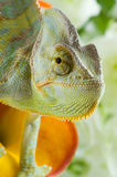 Chameleon on flower Royalty Free Stock Photos