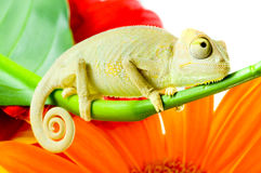 Chameleon on flower. Royalty Free Stock Images