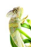 Chameleon on flower. Royalty Free Stock Photo