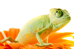 Chameleon on flower. Royalty Free Stock Images