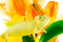 Chameleon on flower. Royalty Free Stock Photos