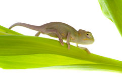 Chameleon on flower Stock Images