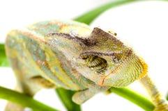 Chameleon on flower. Stock Image