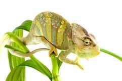 Chameleon on flower. Stock Photos