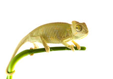Chameleon on flower. Royalty Free Stock Photography