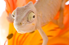 Chameleon on flower Royalty Free Stock Photography