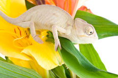 Chameleon on flower Stock Photography