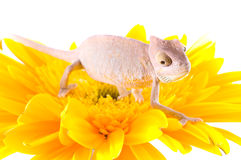 Chameleon on flower. Stock Photography