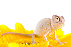 Chameleon on flower. Stock Photos