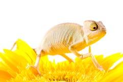 Chameleon on flower. Stock Images