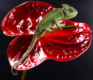 Chameleon and flower, bright vivid exotic climate royalty free stock photo
