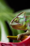 Chameleon and flower, bright vivid exotic climate royalty free stock images