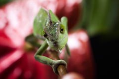 Chameleon and flower, bright vivid exotic climate stock photos