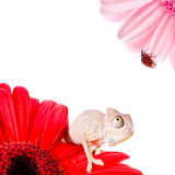 Chameleon on flower. Isolation on white Stock Photography