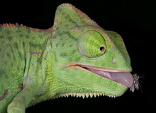 Chameleon with fly on tongue Royalty Free Stock Photos