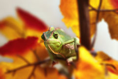 Chameleon in the foliage Royalty Free Stock Photo