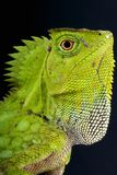 Chameleon forest agama / Gonocephalus chamaeleontinus. The Chameleon forest agama is a cryptic lizard species from Sumatra, Java and surrounding islands. It is a Royalty Free Stock Images