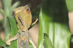Chameleon forest dragon Stock Photography