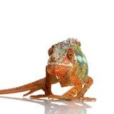 Chameleon Furcifer Pardalis royalty free stock photos
