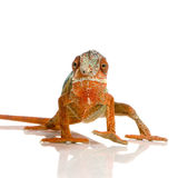 Chameleon Furcifer Pardalis Royalty Free Stock Image