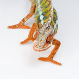 Chameleon Furcifer Pardalis Stock Photos