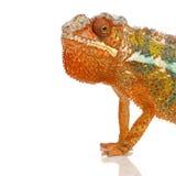 Chameleon Furcifer Pardalis Stock Image