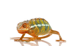 Chameleon Furcifer Pardalis Stock Photo