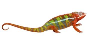 Chameleon Furcifer Pardalis - Ambilobe (18 meses) Imagens de Stock