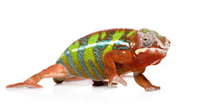 Chameleon Furcifer Pardalis - Ambilobe (18 months) Stock Image