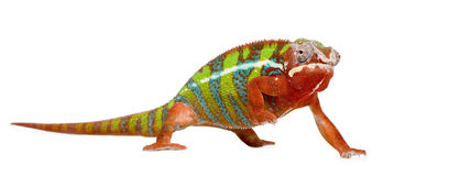 Chameleon Furcifer Pardalis - Ambilobe (18 months) Royalty Free Stock Photos