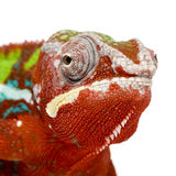 Chameleon Furcifer Pardalis - Ambilobe (18 months) Royalty Free Stock Photo