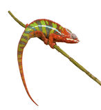 Chameleon Furcifer Pardalis - Ambilobe (18 months). In front of a white background Stock Photography