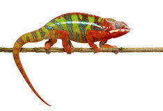 Chameleon Furcifer Pardalis - Ambilobe (18 months) Stock Photo