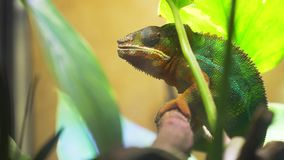 Chameleon Furcifer pardalis Ambolobe. Chameleon sitting on a branch among the green foliage stock video footage