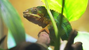 Chameleon furcifer pardalis ambolobe stock video footage