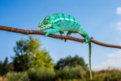Chameleon Furcifer pardalis Ambolobe 2 years old, Madagascar