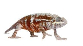 Chameleon Furcifer Pardalis - Masoala (4 years). In front of a white background Stock Image