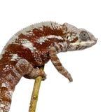 Chameleon Furcifer Pardalis - Masoala (4 years) Royalty Free Stock Images