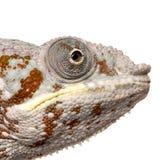 Chameleon Furcifer Pardalis - Masoala (4 years) Stock Image