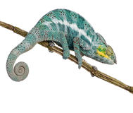 Chameleon Furcifer Pardalis - Nosy Faly Stock Photos